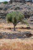 el Madrid molarnej noc oliwny sceny drzewo Drzewo oliwne dziki gaj na wyspie Rhodes, Grecja europejczycy obraz royalty free