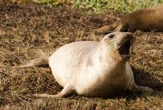 El mamífero salvaje del sello de elefante raspa la costa del Océano Pacífico Fotos de archivo libres de regalías