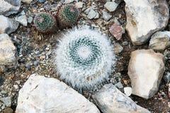 El Mammillaria del cactus está entre las rocas Imagen de archivo libre de regalías