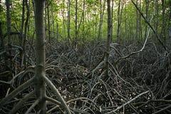 El mangle reforesta Imagen de archivo libre de regalías