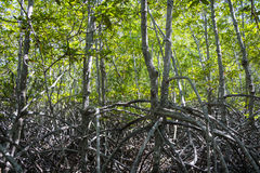 El mangle verde del bosque en Pranburi Forest Park, Prachuap Khiri Khan, Tailandia Imagenes de archivo