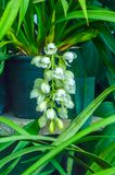 El manojo de brotes del iris barbudo, encontró comúnmente la especie del iris del jardín de plantas de florecimiento con las flor imagenes de archivo