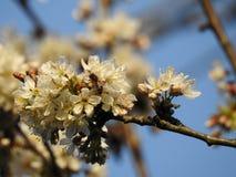 El manojo de flores de cerezo salvajes se cierra para arriba con una abeja Imágenes de archivo libres de regalías
