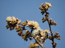 El manojo de flores de cerezo salvajes se cierra para arriba con una abeja Imagenes de archivo