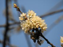 El manojo de flores de cerezo salvajes se cierra para arriba con una abeja del extremo debajo de un cielo azul hermoso Imágenes de archivo libres de regalías