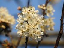 El manojo de flores de cerezo salvajes se cierra para arriba con una abeja del extremo debajo de un cielo azul hermoso Imagen de archivo libre de regalías