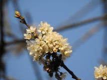 El manojo de flores de cerezo salvajes se cierra para arriba con una abeja del extremo debajo de un cielo azul hermoso Imagen de archivo