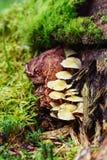 El manojo de hongo crece en árbol cubierto de musgo viejo Imágenes de archivo libres de regalías