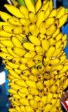 El manojo de plátanos se cierra para arriba imagen de archivo