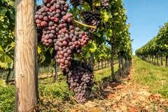 El manojo de uvas cuelga en la vid Foto de archivo libre de regalías