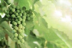 El manojo de uvas inmaduras verdes entre las hojas verdes, con el efecto de la lente del sol foto de archivo libre de regalías