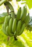 El manojo del plátano cerca de la cosecha Fotografía de archivo libre de regalías