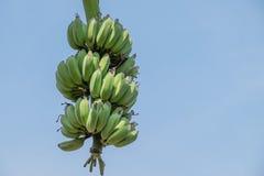 El manojo del plátano todavía se pone verde en fondo del cielo Fotos de archivo