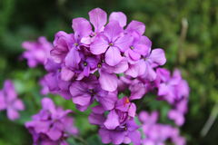 El manojo púrpura Imagenes de archivo
