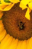 El manosear manosea la abeja y un girasol amarillo grande Fotos de archivo libres de regalías