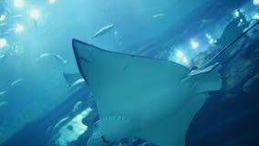 El Manta blanco de la pastinaca nada en acuario subacuático almacen de metraje de vídeo