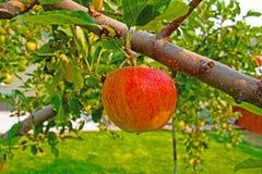 El manzano Foto de archivo libre de regalías