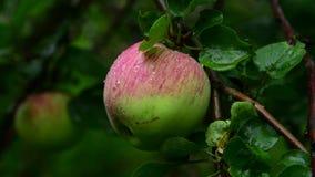El manzano con las manzanas es mojado de la lluvia metrajes