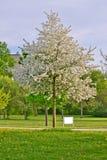 El manzano entero con la manzana blanca florece por completo en una hierba y los dientes de león colocan Imagenes de archivo
