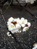 El manzano es florecimiento de la primavera fotografía de archivo
