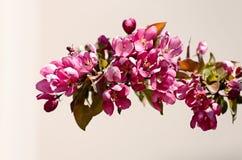 El manzano está floreciendo con las flores rosadas Imágenes de archivo libres de regalías