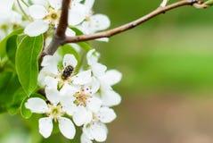 El manzano florece en primavera y la abeja Imagenes de archivo