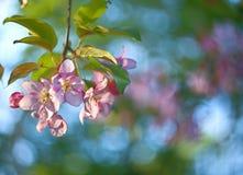 El manzano florece y hojea en un fondo borroso Foto de archivo libre de regalías