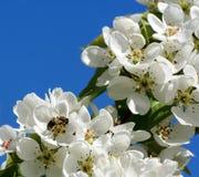 El manzano florece y la floración de polinización de la manzana de la abeja Fotos de archivo libres de regalías