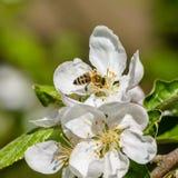 El manzano floreció las flores blancas Imágenes de archivo libres de regalías