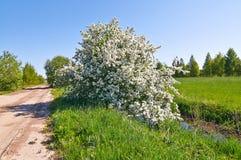El manzano floreciente Imagen de archivo
