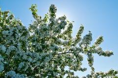 El manzano floreciente Imagenes de archivo