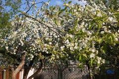El manzano floreciente adentro puede, las flores blancas Fotos de archivo