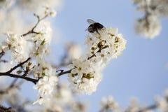 El manzano floreciente ramifica con una abeja en una flor Fotografía de archivo