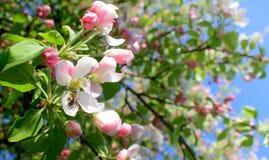 El manzano rosado del flor y la manzana de polinización de la abeja florecen Fotos de archivo libres de regalías