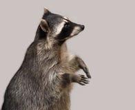El mapache aislado en gris Imágenes de archivo libres de regalías