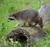 El mapache en musgo cubrió el registro Imagen de archivo libre de regalías