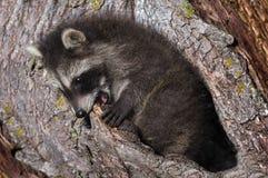 El mapache joven (lotor del Procyon) muerde en el árbol Foto de archivo
