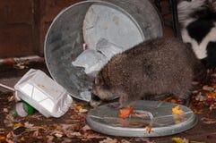 El mapache (lotor del Procyon) ataca el bote de basura con la mofeta en fondo foto de archivo libre de regalías