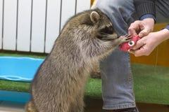 El mapache se coloca en las piernas traseras imagenes de archivo