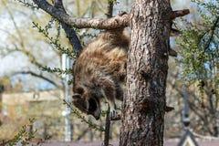 El mapache sube abajo del árbol Fotografía de archivo