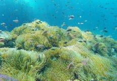 El mar del ‹las anémonas de Tailandia, mar del †del ‹del †es mar Imágenes de archivo libres de regalías