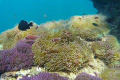 El mar del ‹las anémonas de Tailandia, mar del †del ‹del †es mar Fotos de archivo libres de regalías
