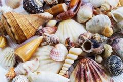 El mar descasca la colección en el fondo de madera blanco Foto de archivo