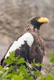 El mar Eagle de Steller Imagenes de archivo