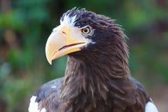 El mar Eagle de Steller Fotografía de archivo libre de regalías