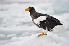 El mar Eagle de Steller Imágenes de archivo libres de regalías