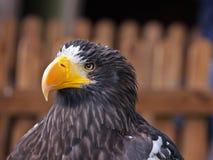 El mar Eagle de un Steller femenino Imágenes de archivo libres de regalías