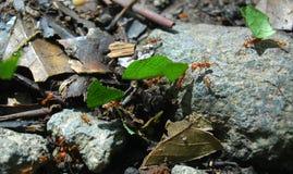 El marchar de las hormigas Imagen de archivo libre de regalías