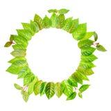El marco redondo de hojas verdes frescas con la ramita se aísla en blanco Fotografía de archivo