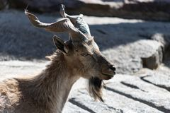 El markhor, tambi?n conocido como el falconeri del Capra de la cabra del cuerno del tornillo imagenes de archivo